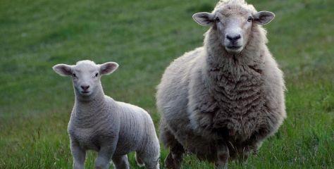 Le virus de la fièvre catarrhale détecté chez des moutons français importés au Royaume-Uni